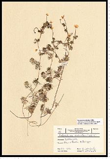 Batrachium circinatum (Sibth.) Fr.
