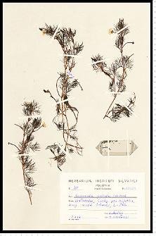 Batrachium peltatum Schrank