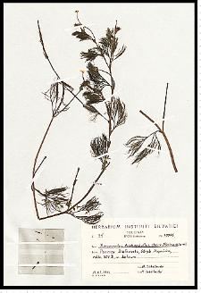 Batrachium trichophyllum (Chaix) Bosch