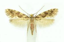 Nemapogon granella (Linnaeus, 1758)