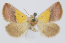 Eublemma pannonica