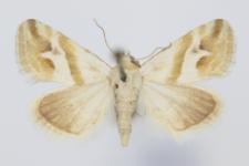 Eublemma viridula