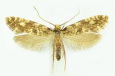 Nemapogon cloacella (Haworth, 1828)