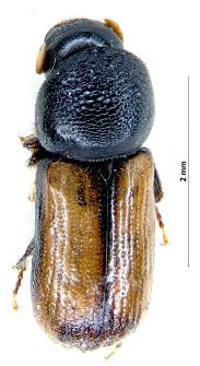 Trypodendron domesticum (Linnaeus, 1758)