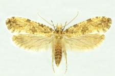Morophaga choragella (Denis & Schiffermüller, 1775)
