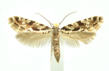 Nemapogon variatella (Clemens, 1859)