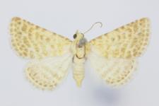 Rhypalga lacernaria