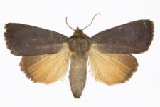 Amphipyra livida