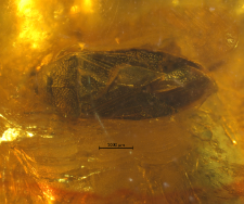 Lygaeidae (Ryparochrominae)