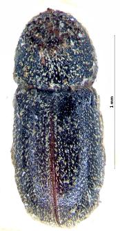Ernoporicus caucasicus (Lindemann, 1876)