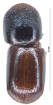 Xylosandrus germanus (Blandford, 1894)