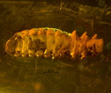 Coleoptera (Cucujiformia)