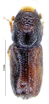 Pityophthorus pityographus (J.T.C. Ratzeburg, 1837)