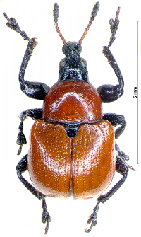 Attelabus nitens (I.A. Scopoli, 1763)