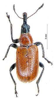 Lasiorhynchites caeruleocephalus (Schaller, 1783)