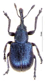 Neocoenorrhinus germanicus (J.F.W. Herbst, 1797)