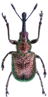 Rhynchites bacchus (Linnaeus, 1758)