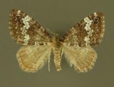 Perizoma alchemillata (Linnaeus, 1758)
