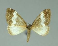 Perizoma affinitata (Stephens, 1831)