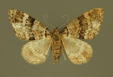 Martania taeniata (Stephens, 1831)