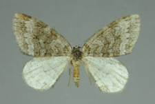 Epirrita autumnata (Borkhausen, 1794)