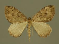 Triphosa dubitata (Linnaeus, 1758)