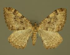 Hydria cervinalis (Scopoli, 1763)