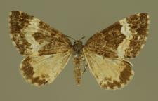 Spargania luctuata (Denis & Schiffermüller, 1775)