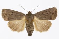 Amphipyra tragopoginis