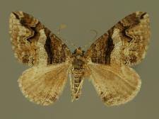 Pareulype berberata (Denis & Schiffermüller, 1775)