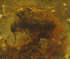 Rhipiphoridae (Palecotominae)