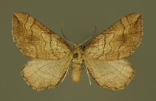Coenocalpe lapidata (Hübner, 1809)