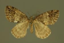 Hydriomena impluviata (Denis & Schiffermüller, 1775)