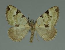 Colostygia pectinataria (Knoch, 1781)
