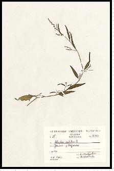 Atriplex patula L.