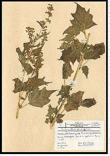 Chenopodium hybridum L.