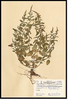 Chenopodium polyspermum L.