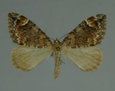 Dysstroma truncata (Hufnagel, 1767)