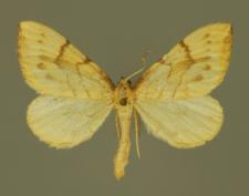 Gandaritis pyraliata (Denis & Schiffermüller, 1775)