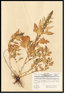 Chenopodium rubrum L.
