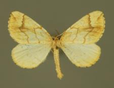 Eulithis mellinata (Fabricius, 1787)