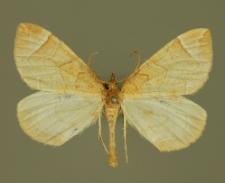 Eulithis testata (Linnaeus, 1761)