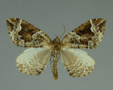 Eulithis prunata (Linnaeus, 1758)