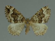 Lampropteryx suffumata (Denis & Schiffermüller, 1775)