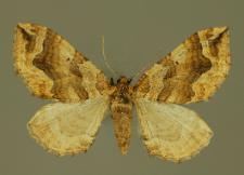 Pelurga comitata (Linnaeus, 1758)