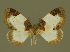 Mesoleuca albicillata (Linnaeus, 1758)