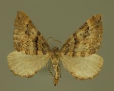 Earophila badiata (Denis & Schiffermüller, 1775)