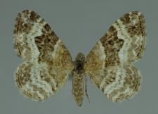 Epirrhoe alternata (Müller, 1764)