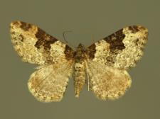 Xanthorhoe fluctuata (Linnaeus, 1758)