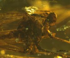 Dactylolabis ryszardi